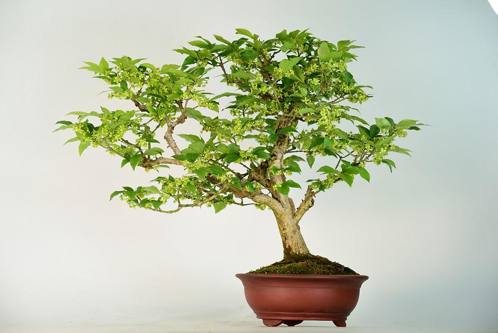Euonymus alatus, Winged Spindle, Bonsai