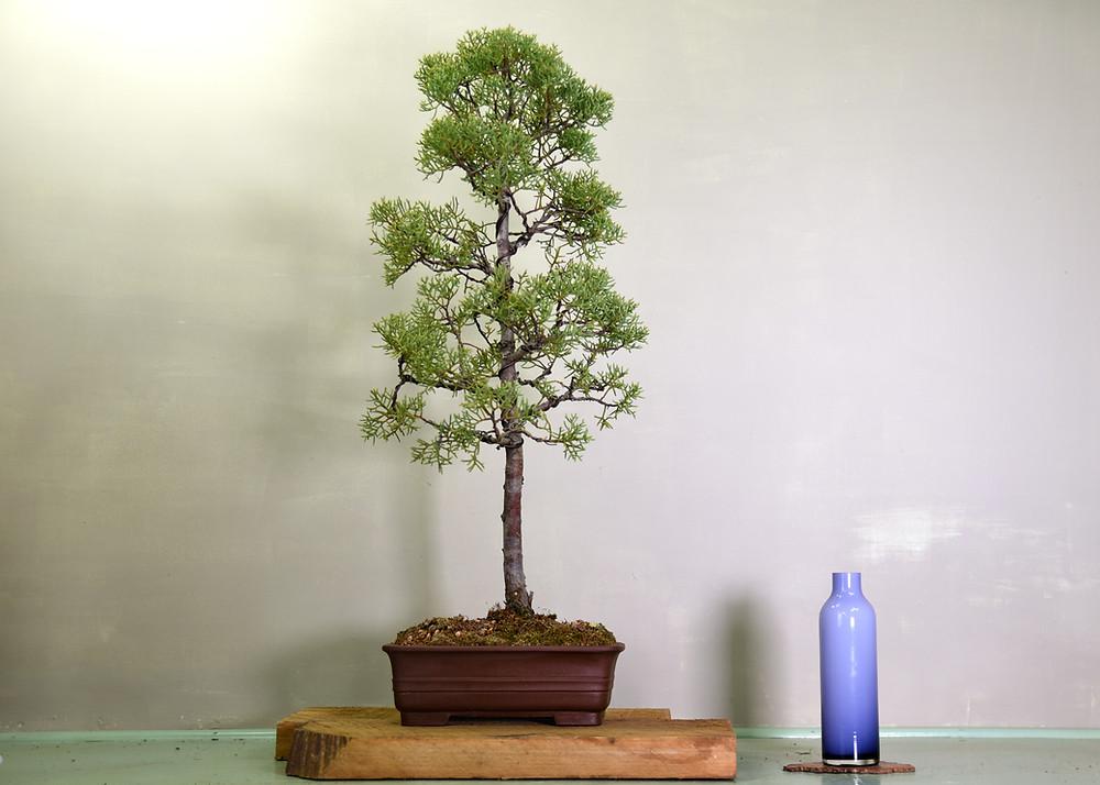 Monterey Cypress Bonsai