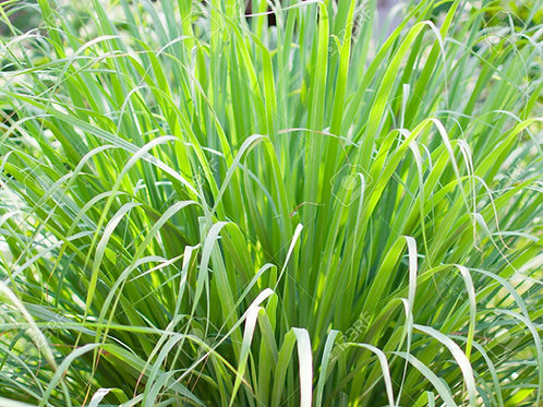 Lemongrass Essential oil (1KG)
