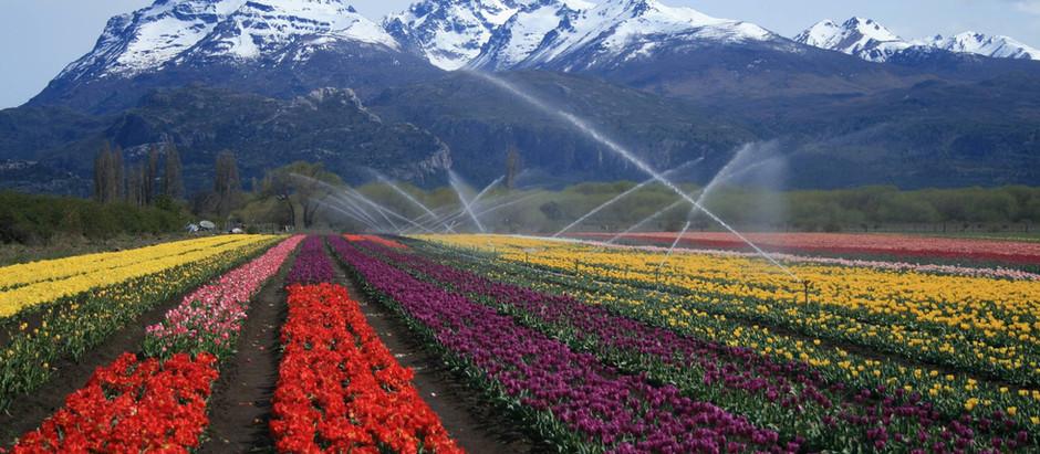 La leyenda de los tulipanes patagónicos: Juan Carlos Ledesma.