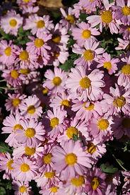 Chrysanthemum 'Soulful Feast' (3).JPG