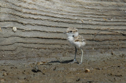 Pilrito-comum