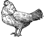 Chicken Sketch Illustration.png