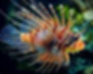 LION FISH.jpg