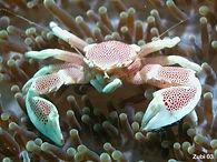 porcelain crab.jpg