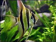 agel fish.jpg