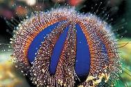 The-Blue-Tuxedo-Urchin.jpeg