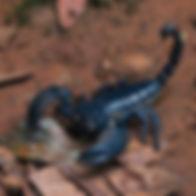 Asian_Forest_Scorpion_(Heterometrus_long