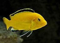 yellow caeruleus.jpg