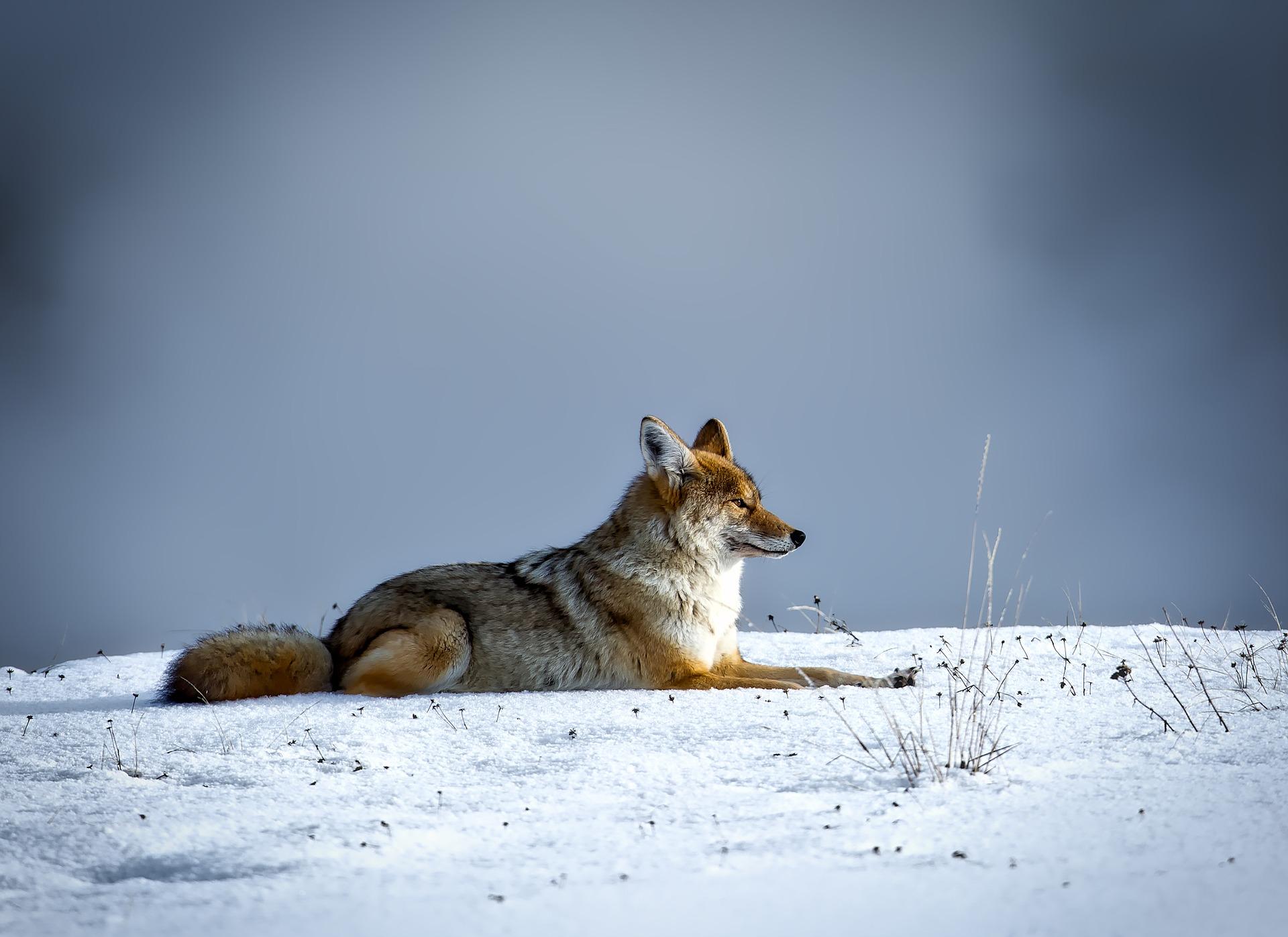 coyote-1730060_1920