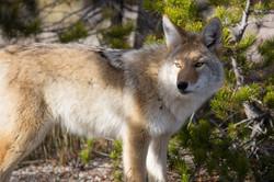 coyote-948817_1280