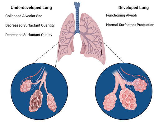 Macro to Micro View of the Lungs (4).png