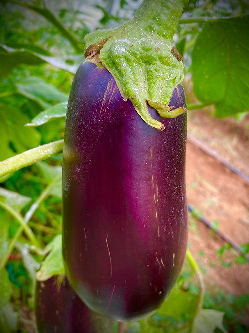 Globe - Eggplant - (AKA: American Eggplant)