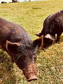 AGH Pigs.jpg
