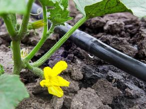 Estrategias para enfrentar la sequía en la huerta