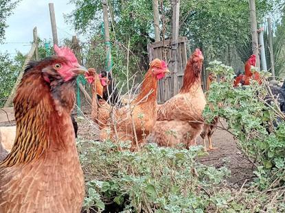 Empieza tu crianza de gallinas