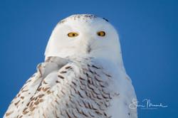 Snowy Owl Eyes on You February 2019