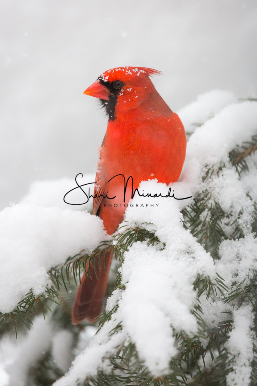 Male Cardinal in Snowy Pine Dec 25, 2017