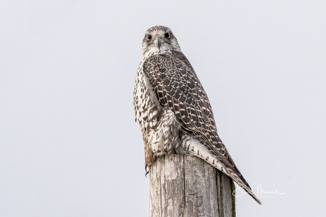 Gyrfalcon on Pole - February 6, 2020