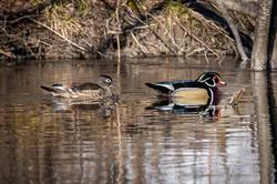 Wood Ducks - April 11, 2020 (6 of 15)