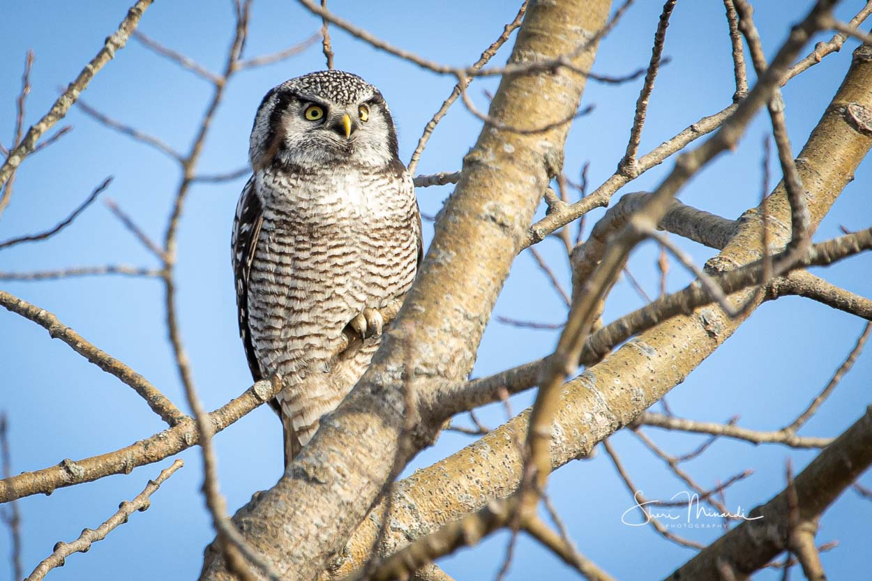 Northern Hawk Owl in Tree, Nov