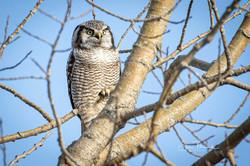 Northern Hawk Owl in Tree, Nov
