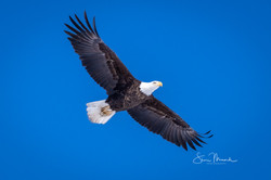 Soaring Bald Eagle, Feb