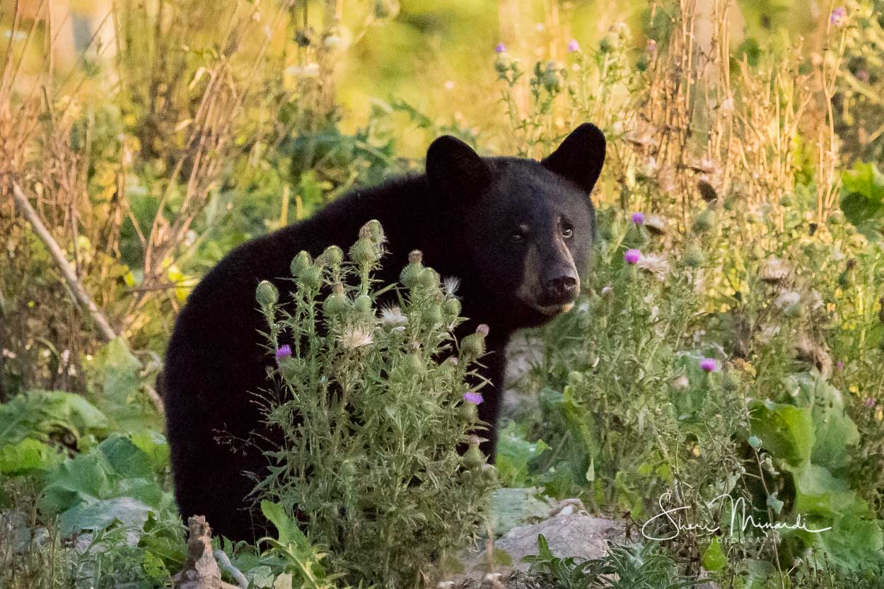 Black Bear in the Thistles September 201