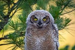 Great Horned Owlet Portrait, July 14, 20