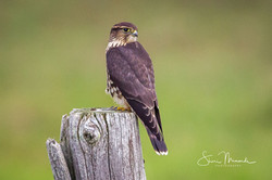 Merlin on Fence Post August 2018