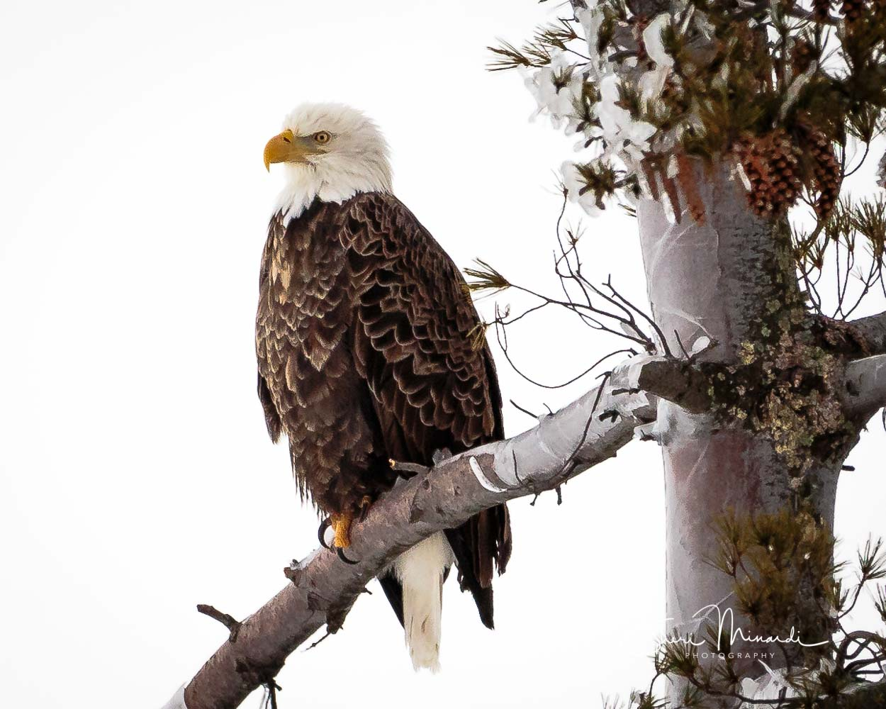 Bald Eagle on Iced Tree February 10, 201