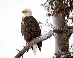 Bald Eagle on Iced Tree February 10, 201