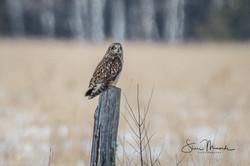Short-eared Owl February 2018 (2 of 2)-2