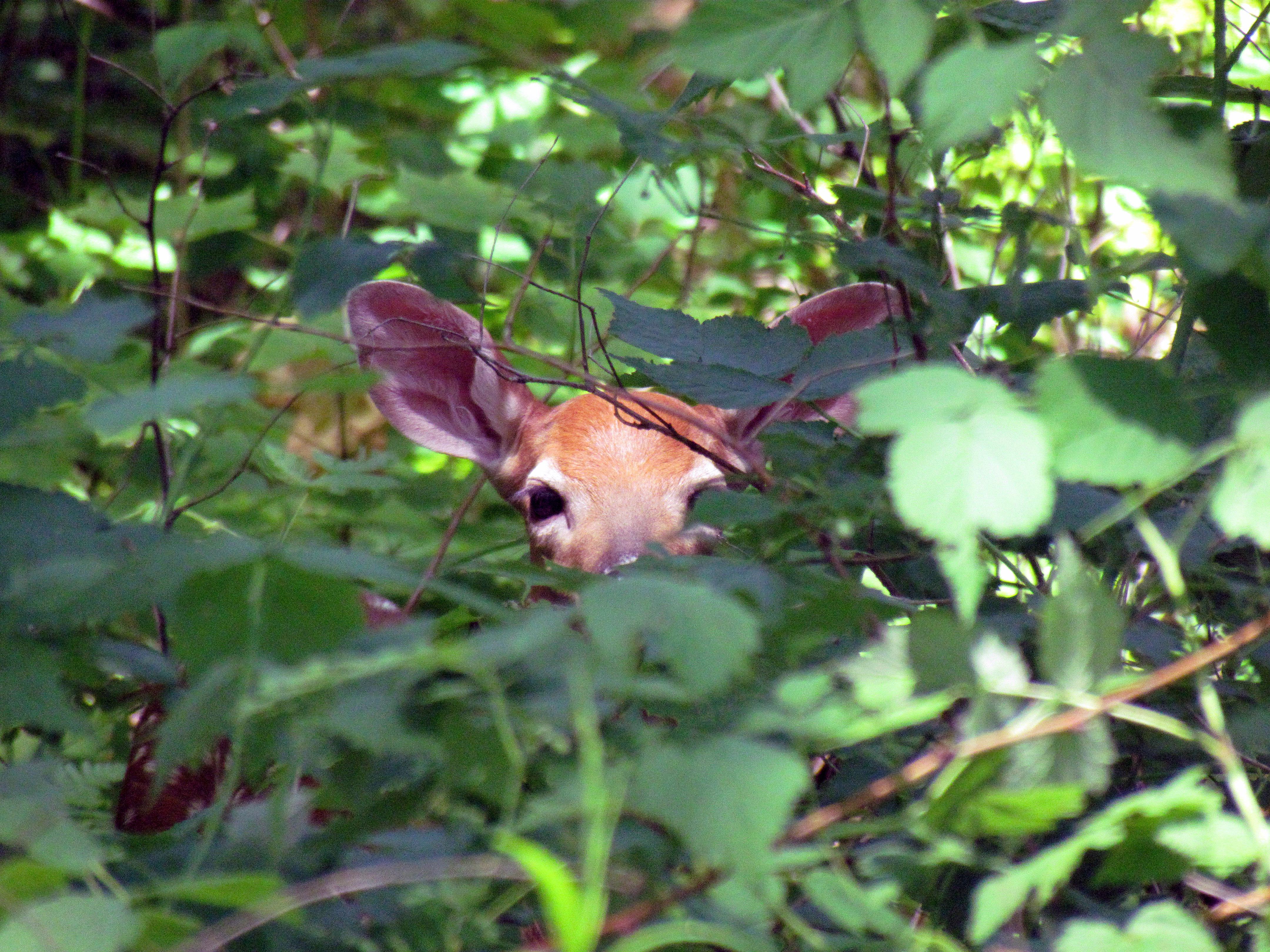 Peek a Boo Fawn