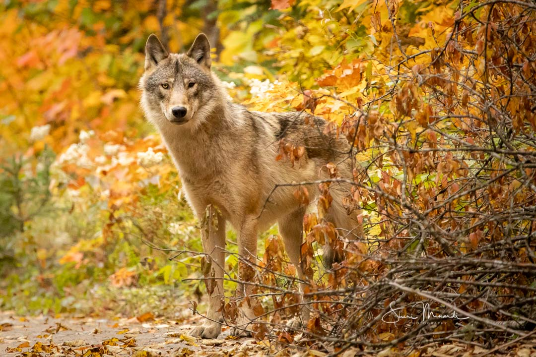 Grey Timber Wolf, Sept. 24, 2020-3