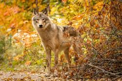 Grey Timber Wolf, Sept. 24, 2020-3