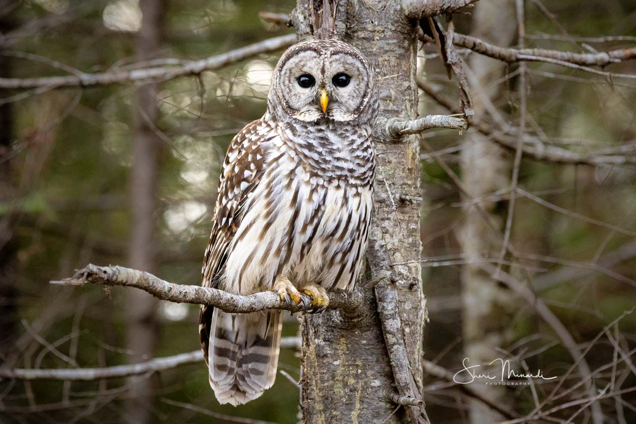 Barred Owl on Perch Nov. 25, 2019