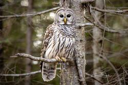 Barred Owl on Perch Nov. 25, 2019