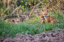 Three Fox Kits, May 24, 2020