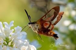 Hummingbird Clearwing Moth, May 31, 2021