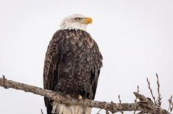 Bald Eagle, Feb. 14, 2020 (2 of 2)