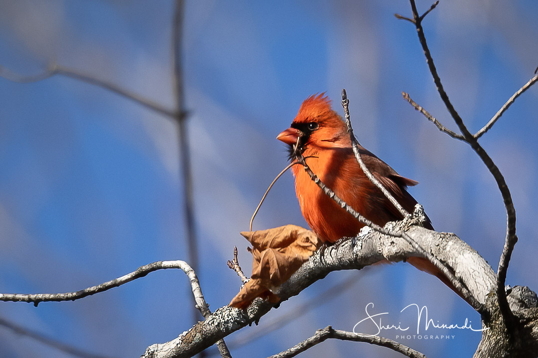 Male Cardinal in Tree - March 15, 2021