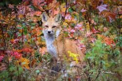 Haight Rd. Fox in Autumn October 2018