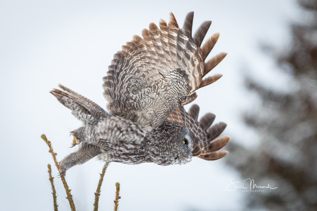 Great Gray Owl in Flight, Feb