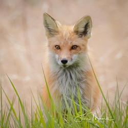 Fox in The Grass, May 6, 2021