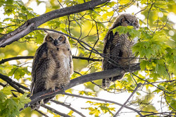 #3 Great Horned Owlets, Jun 3, 2020 (3 of 4