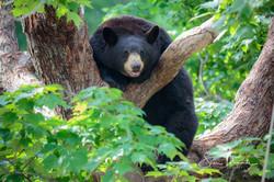 Black Bear in Tree July 2018 - Oswald Bear Ranch
