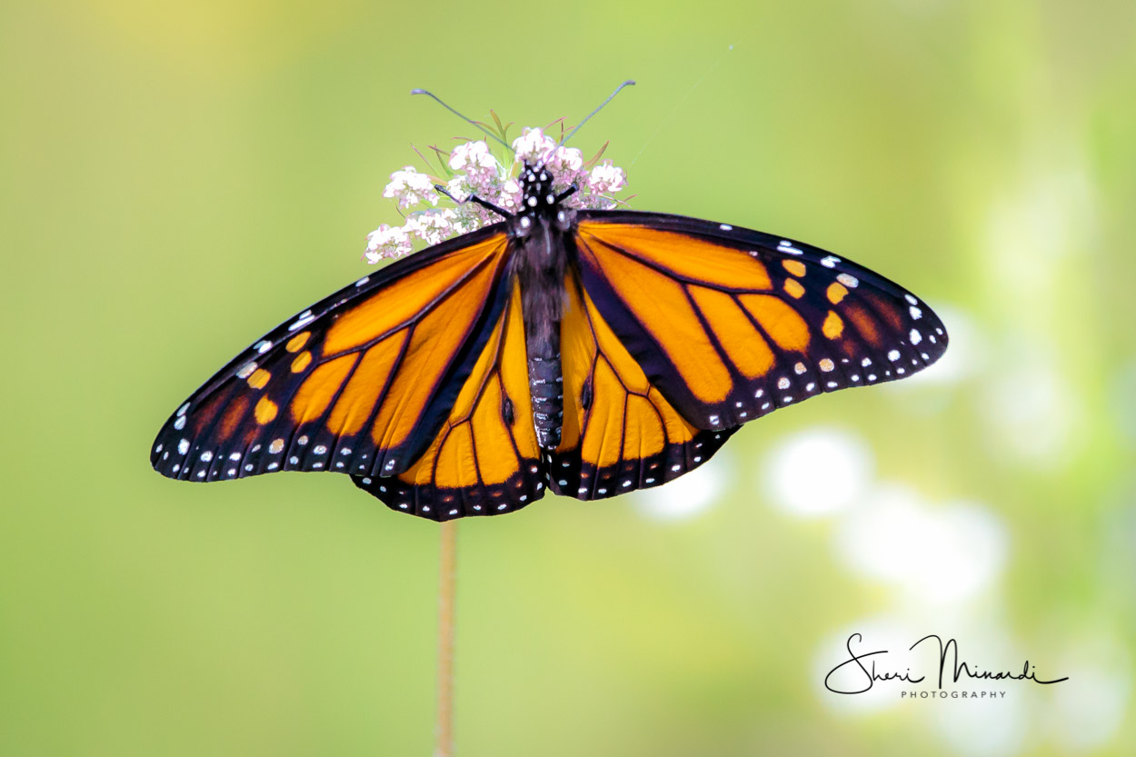 Monarch Butterfly July 2018