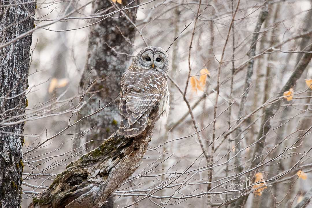 Barred Owl Perched on Broken Limb - Dec. 7, 2020
