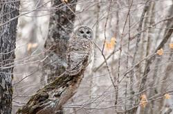 Barred Owl Perched on Broken Limb - Dec. 7, 2020